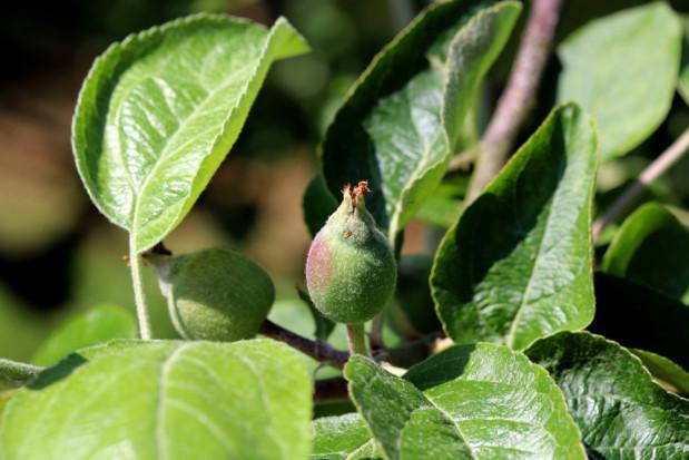 Nawożenie i fertygacja sadów po kwitnieniu