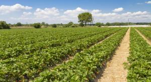 Pogoda zdziesiątkuje uprawy truskawek?