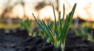 Wiosenne zagrożenia w uprawach warzyw cebulowych