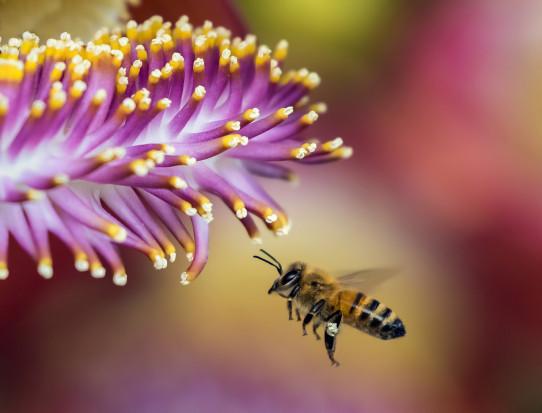McDonald's wspiera populację pszczół (wideo)