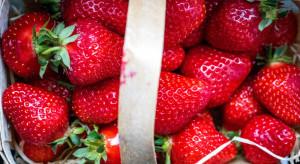 Duży spadek cen truskawek na Giełdzie Goławin