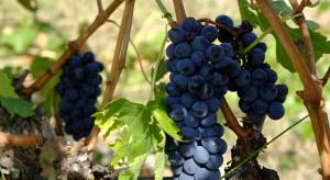 Zmiany klimatu wpływają niekorzystnie na europejskie uprawy winorośli