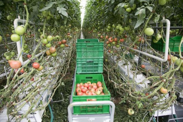 Mazowieckie: Citronex zainwestuje w produkcję pomidorów w Ryczywole