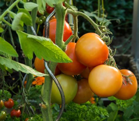 ToBRFV stwarza duże zagrożenie dla upraw pomidora i papryki w UE