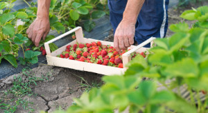 Nie ma komu zbierać truskawek. Ludzi do pracy trzeba szukać w dalekiej Azji?