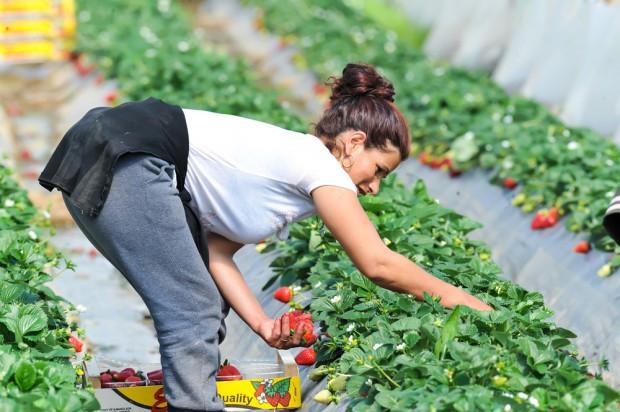 Polski pracownik jest zbyt drogi by zbierać tanie owoce