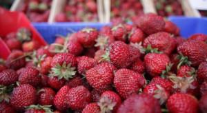 Mazowsze: Ruszają pierwsze skupy truskawek. Ceny od 2 do 4 zł/kg