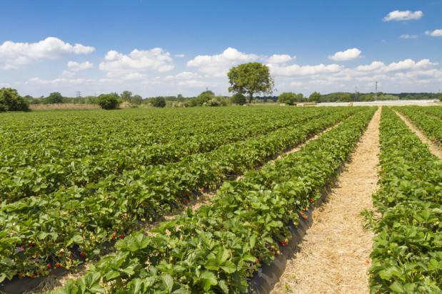 IUNG: Susza rolnicza w Polsce. Dotknęła m.in. truskawki