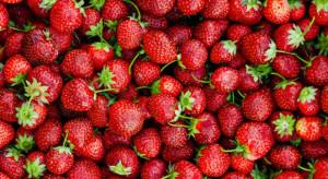 Wzrost cen truskawek na Giełdzie Goławin