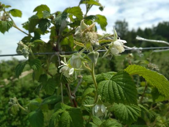 Rozpoczyna się kwitnienie malin. Konieczna jest ochrona plantacji (wideo+foto)