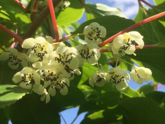 Trwa kwitnienie MiniKiwi - kluczowy okres uzyskania owoców dobrej jakości