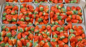 Szczyt sezonu truskawkowego. Ceny w hurcie wahają się między 4-10 zł/kg