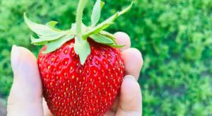 Lubliniec: Wyhodowano gigantyczną truskawkę. Waży prawie ćwierć kilograma
