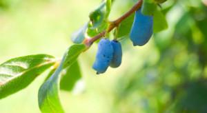 Polska może stać się globalnym liderem w produkcji owoców jagody kamczackiej