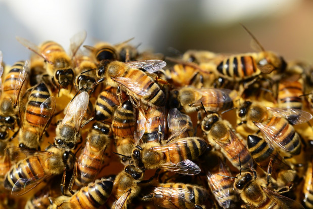 Populacja rodzin pszczelich w Polsce rośnie (wideo)