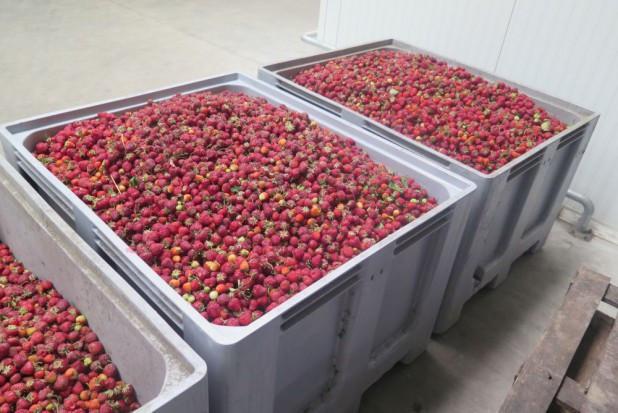 Mazowsze: Ceny truskawek w skupach wahają się między 2,7-4,3 zł/kg