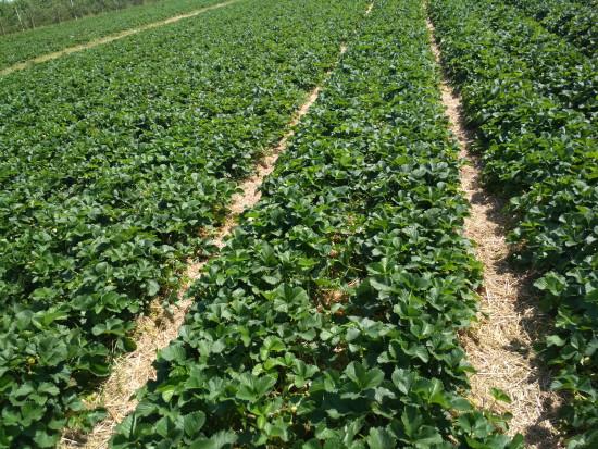 Ochrona truskawki: należy zwrócić uwagę na przędziorki, choroby liści wciąż groźne (zdjęcia+wideo)