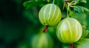 Trudna sytuacja na rynku agrestu. Winny brak popytu?