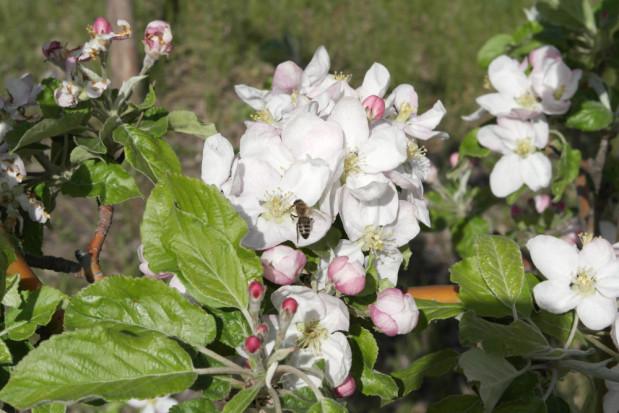 Polsko-niemiecki projekt ochrony dzikich pszczół na łąkach i w sadach