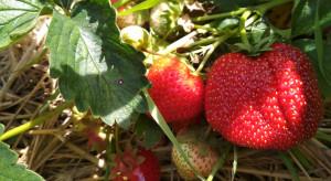 FDS Bayer: zmienne warunki pogodowe, choroby grzybowe oraz nowe zagrożenia dla truskawek i malin