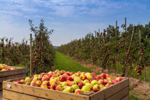 Pogoda nie oszczędza producentów owoców. Zbiory będą nawet o połowę niższe