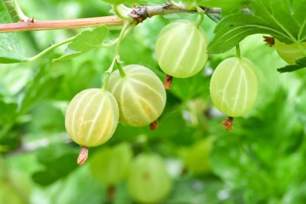 Ceny agrestu uzależnione są od wahań cen pozostałych owoców do przetwórstwa