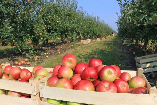Jabłek w tym sezonie będzie znacznie mniej