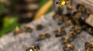 Ule w miastach mogą uratować populację pszczół (video)