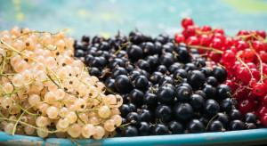 Owoce jagodowe 2019: Trwa się skup malin i porzeczek