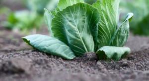 Nowe rozwiązanie do zwalczania chwastów w uprawie kapusty