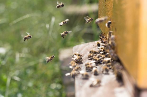 Małopolskie: Policja wyjaśnia sprawę uśmiercenia pszczół z ok. 50 uli