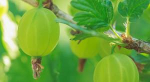 Producent agrestu: Nie istnieje wsparcie dla małych, polskich podmiotów (wywiad)