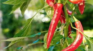 Papryczka chilli ma szansę stać się pierwszym 'owocem' uprawianym w kosmosie