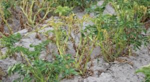 Panują sprzyjające warunki atmosferyczne do rozwoju zarazy ziemniaka