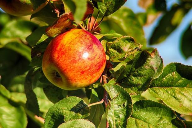 Zbiory jabłek zapowiadają się na dużo niższym niż przeciętnie poziomie