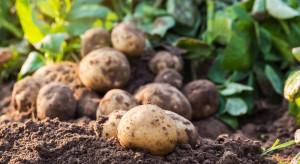 Susza oznacza niższe tegoroczne zbiory i gorszej jakości bulwy ziemniaka