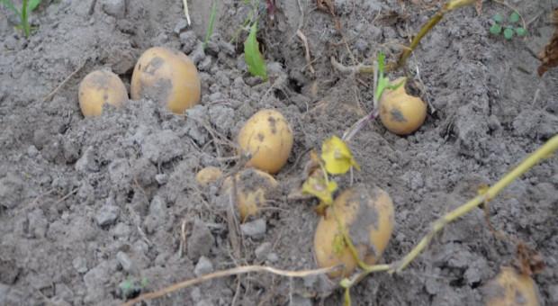 Susza głównym czynnikiem ograniczającym w tym roku plonowanie ziemniaka