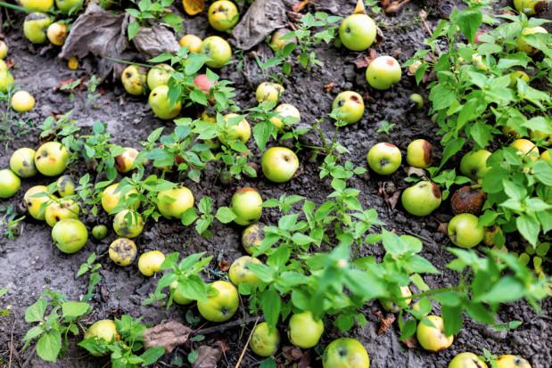 Rosja: Zniszczono 20 ton polskich jabłek