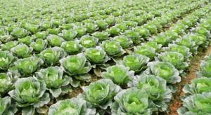 GUS szacuje produkcję warzyw gruntowych na niespełna 3,8 mln ton