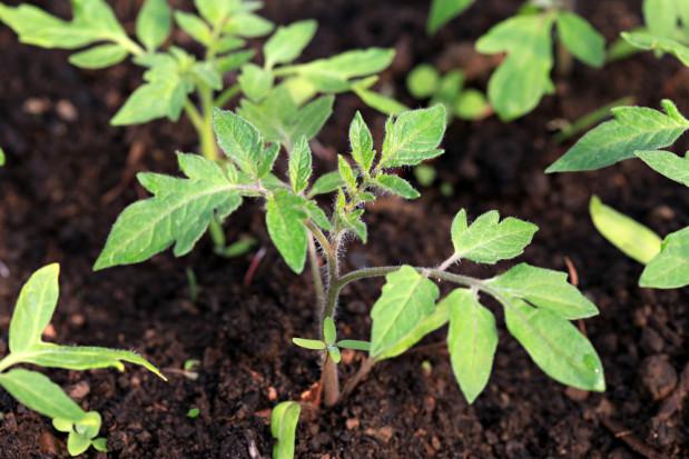 Askarozydy zwiększają odporność roślin uprawnych na patogeny