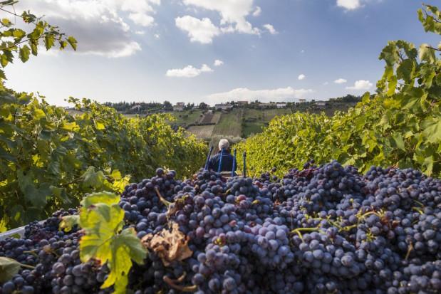 Rozpoczęło się winobranie we włoskich winnicach