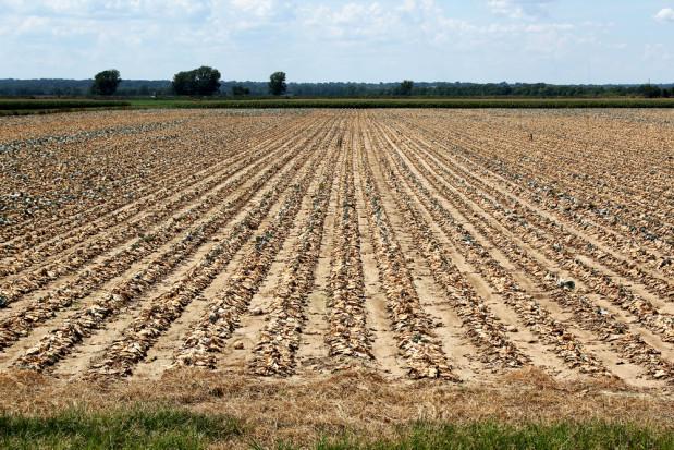 Śląskie: Blisko 4,5 tys. zgłoszeń o szacowanie strat spowodowanych suszą