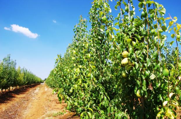 Prognosfruit: niższe zbiory gruszek w UE, w Polsce na poziomie z ub. roku
