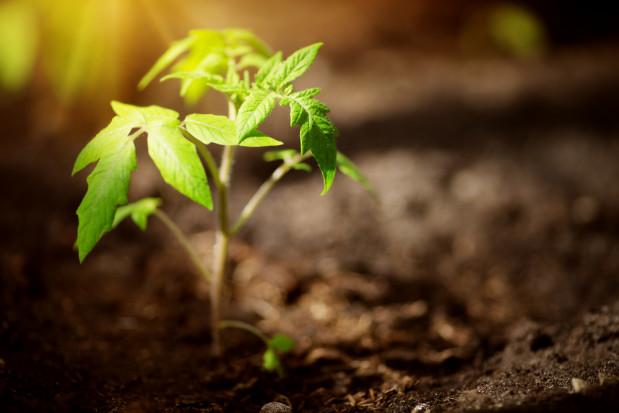 PIORiN: potencjalny szkodnik warzyw i ziemniaków w Europie