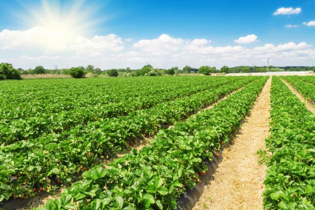 Baristo w ochronie herbicydowej truskawki