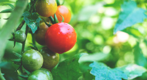 Upały nie sprzyjają produkcji pomidorów szklarniowych. Ceny idą w górę