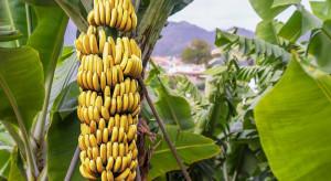 Kolumbia: Choroba panamska zaatakowała plantacje bananowców