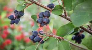 Nowe gatunki owoców potrzebują promocji