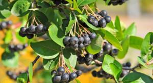 Aronia, czarna porzeczka, rokitnik to polskie superfruits
