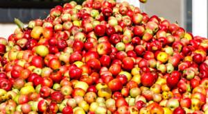 Mazowsze: Rosną ceny jabłek przemysłowych. Przekroczyły 55 gr/kg